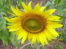 Κίτρινος ηλίανθος χρώματος, ηλίανθος Στοκ Φωτογραφία
