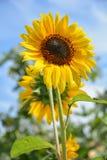 κίτρινος ηλίανθος Στοκ φωτογραφία με δικαίωμα ελεύθερης χρήσης