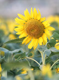 Κίτρινος ηλίανθος Στοκ εικόνες με δικαίωμα ελεύθερης χρήσης