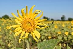 κίτρινος ηλίανθος Στοκ εικόνα με δικαίωμα ελεύθερης χρήσης