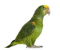 Κίτρινος-διευθυνμένος Αμαζόνιος (6 μηνών), που απομονώνονται στοκ εικόνα με δικαίωμα ελεύθερης χρήσης