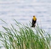Κίτρινος διευθυνμένος κότσυφας ενάντια στο νερό Στοκ εικόνες με δικαίωμα ελεύθερης χρήσης
