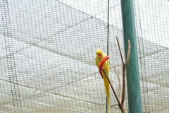 Κίτρινος ινδικός παπαγάλος ringneck που τρώει το τσίλι στοκ φωτογραφίες