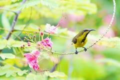 Κίτρινος-διογκωμένος sunbird Στοκ Φωτογραφία