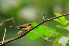 Κίτρινος-διογκωμένο Fantail στοκ φωτογραφίες με δικαίωμα ελεύθερης χρήσης