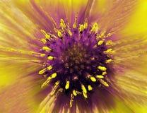 Κίτρινος-ιώδες λουλούδι σε ένα θολωμένο υπόβαθρο closeup Γούνινο ιώδης-κίτρινο κέντρο Να κολλήσει Pistils έξω όπως τις βελόνες Γι Στοκ εικόνες με δικαίωμα ελεύθερης χρήσης