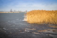 Κίτρινος κάλαμος στην πλευρά της παγωμένης λίμνης στην Πολωνία Στοκ φωτογραφία με δικαίωμα ελεύθερης χρήσης