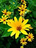 Κίτρινος κήπος θερινής φύσης χρώματος μαργαριτών λουλουδιών στοκ εικόνα με δικαίωμα ελεύθερης χρήσης