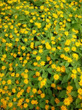 Κίτρινος κήπος λουλουδιών Στοκ Εικόνες