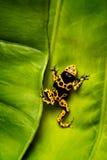 Κίτρινος και μαύρος βάτραχος βελών δηλητήριων στο φύλλο στοκ φωτογραφία