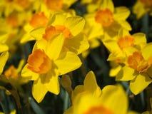 Κίτρινος και πορτοκαλής στενός επάνω Daffodils στοκ εικόνες