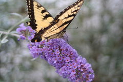 Κίτρινος καταπιείτε την ουρά σε έναν θάμνο πεταλούδων Στοκ φωτογραφία με δικαίωμα ελεύθερης χρήσης