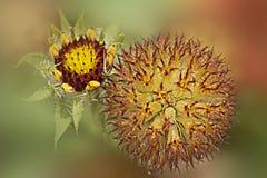 Κίτρινος, καφετής βολβός λουλουδιών Στοκ Φωτογραφίες