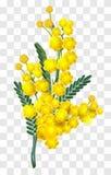 Κίτρινος κλάδος λουλουδιών mimosa που απομονώνεται στο διαφανές υπόβαθρο Στοκ Φωτογραφίες