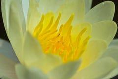 Κίτρινος κρίνος νερού στοκ φωτογραφία με δικαίωμα ελεύθερης χρήσης