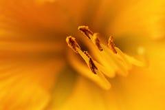 Κίτρινος κρίνος στοκ φωτογραφία με δικαίωμα ελεύθερης χρήσης