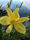 Κίτρινος κρίνος στοκ εικόνες με δικαίωμα ελεύθερης χρήσης