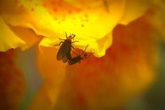 Κίτρινος κρίνος Cana με τα ζωύφια αγάπης στοκ εικόνες