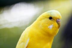 Κίτρινος κυματιστός παπαγάλος, κινηματογράφηση σε πρώτο πλάνο Στοκ Εικόνες