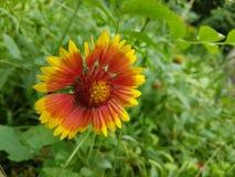 Κίτρινος-κόκκινο λουλούδι Στοκ εικόνα με δικαίωμα ελεύθερης χρήσης