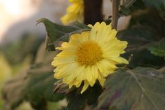 Κίτρινος, μαργαρίτες, λουλούδια, φυσικά, άνθος, ευτυχία Στοκ Εικόνες