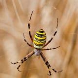 Κίτρινος-μαύρη αράχνη στο spiderweb της Στοκ Φωτογραφία