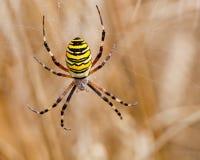 Κίτρινος-μαύρη αράχνη στο spiderweb της Στοκ εικόνες με δικαίωμα ελεύθερης χρήσης