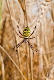 Κίτρινος-μαύρη αράχνη στο spiderweb της Στοκ Εικόνα