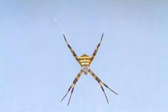 Κίτρινος-μαύρη αράχνη στο spiderweb της - Argiope versicolor & x28 Πολυ Στοκ Εικόνες