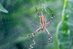Κίτρινος-μαύρη αράχνη σφαίρα-υφαντών Argiope Bruennichi, ή η σφήκα-αράχνη στον Ιστό, ιστός αράχνης στο πράσινο φυσικό κλίμα, clos Στοκ Φωτογραφίες