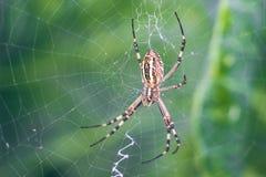 Κίτρινος-μαύρη αράχνη σφαίρα-υφαντών Argiope Bruennichi, ή η σφήκα-αράχνη στον Ιστό, ιστός αράχνης στο πράσινο φυσικό κλίμα, clos Στοκ εικόνες με δικαίωμα ελεύθερης χρήσης