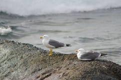 Κίτρινος-με πόδια γλάροι Στοκ εικόνες με δικαίωμα ελεύθερης χρήσης
