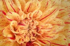 Κίτρινος με τα κόκκινα πέταλα λουλουδιών λουρίδων, κλείστε επάνω και μακροεντολή του χρυσάνθεμου, όμορφο αφηρημένο υπόβαθρο Στοκ εικόνες με δικαίωμα ελεύθερης χρήσης