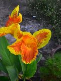 Κίτρινος με τα πορτοκαλιά ανθίζοντας ασιατικά λουλούδια Canna στοκ φωτογραφίες με δικαίωμα ελεύθερης χρήσης