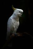 Κίτρινος μικρότερο θείο-λοφιοφόρο cockatoo Στοκ φωτογραφία με δικαίωμα ελεύθερης χρήσης