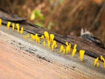 Κίτρινος μύκητας στοκ φωτογραφίες