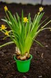 Κίτρινος νάνος daffodils Στοκ Φωτογραφίες