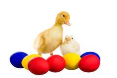 Κίτρινος νεοσσός και ο νεοσσός Στοκ φωτογραφία με δικαίωμα ελεύθερης χρήσης