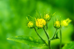 Κίτρινος οφθαλμός λουλουδιών πικραλίδων Στοκ εικόνες με δικαίωμα ελεύθερης χρήσης