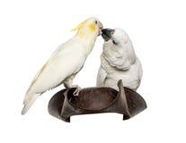 Κίτρινος-λοφιοφόρο Cockatoo και άσπρο Cockatoo Στοκ φωτογραφία με δικαίωμα ελεύθερης χρήσης