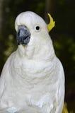 Κίτρινος-λοφιοφόρο sulphurea cacatua ονόματος cockatoo λατινικό Στοκ φωτογραφία με δικαίωμα ελεύθερης χρήσης