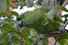 Κίτρινος-ο παπαγάλος του Αμαζονίου που εσκαρφάλωσε στο δέντρο (1) Στοκ φωτογραφία με δικαίωμα ελεύθερης χρήσης