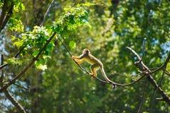 Κίτρινος πίθηκος Στοκ Εικόνα