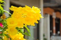 Κίτρινος παλαιότερος στοκ φωτογραφίες