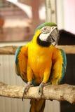 Κίτρινος παπαγάλος Macaw στον κλάδο Στοκ Εικόνες