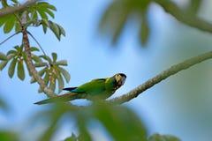 Κίτρινος-πιαμένο Macaw, auricollis Primolius, μεγάλος πράσινος παπαγάλος πορτρέτου, Pantanal, Βραζιλία, Νότια Αμερική Όμορφο σπάν Στοκ φωτογραφίες με δικαίωμα ελεύθερης χρήσης