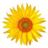 Κίτρινος πορτοκαλής ηλίανθος λουλουδιών, που απομονώνεται σε ένα άσπρο υπόβαθρο Κινηματογράφηση σε πρώτο πλάνο Στοκ Φωτογραφίες