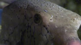 Κίτρινος που επισημαίνεται boxfish στο σκόπελο σε αναζήτηση των τροφίμων απόθεμα βίντεο