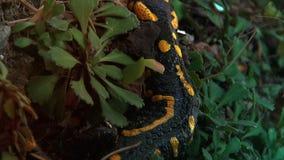 Κίτρινος που επισημαίνεται salamander άγριο στο δασικό, πραγματικός - χρόνος, απόθεμα βίντεο