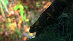 Κίτρινος που επισημαίνεται salamander άγριο στο δασικό, πραγματικός - χρόνος, φιλμ μικρού μήκους